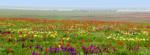 Цветущая степь Калмыкии. Море тюльпанов рядом с Элистой.