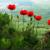 Реликтовые маки на Бештау. Когда цветут?
