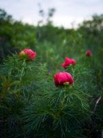 Пион узколистый – весенний цветок на юге России