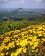 Рододендрон жёлтый на склонах горы Бештау
