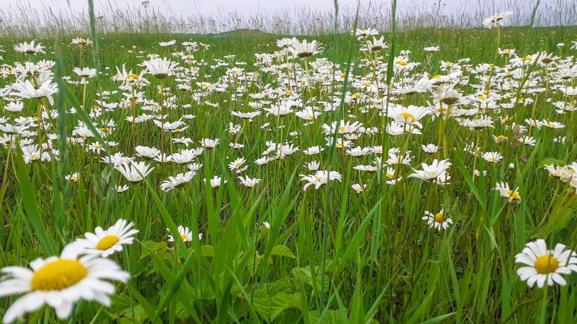 Ромашковые поля. Цветущая красота Ставропольского края