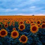 Цветение подсолнухов в Пятигорске и на КМВ