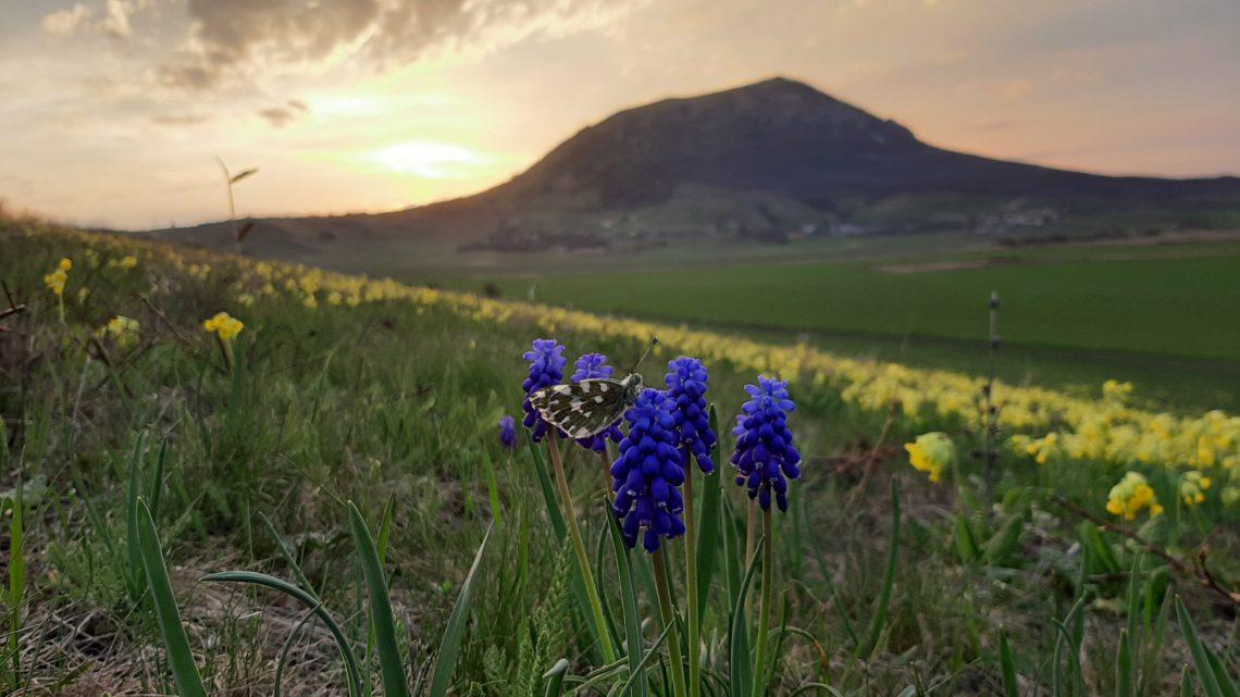 Весна на КМВ. Красивейшее баранчиковое поле в курортном регионе
